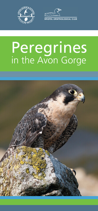 Peregrines in the Avon Gorge leaflet