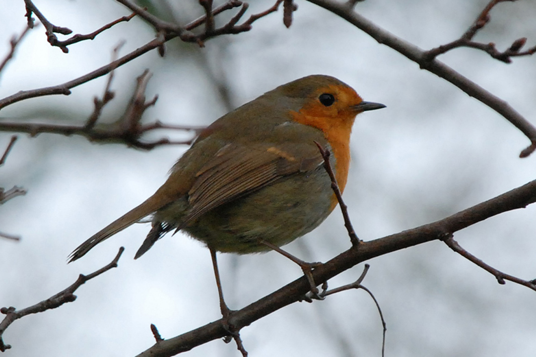 Robin (copyright Denice Stout)