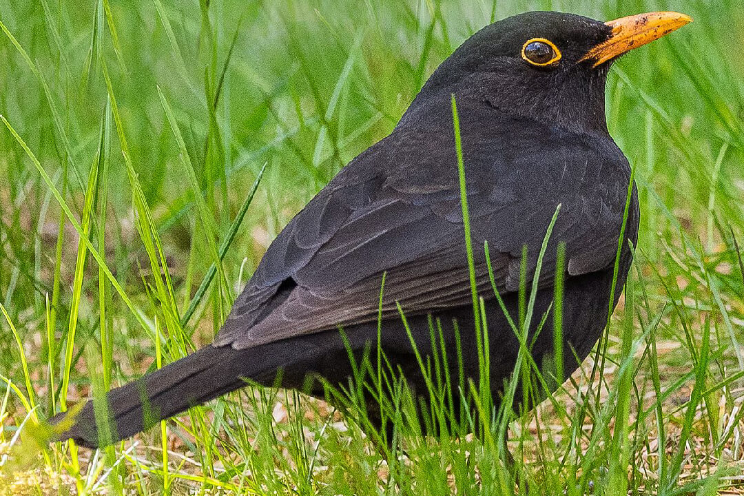 Blackbird (Bengt Nyman, licence CC BY-SA 4.0)