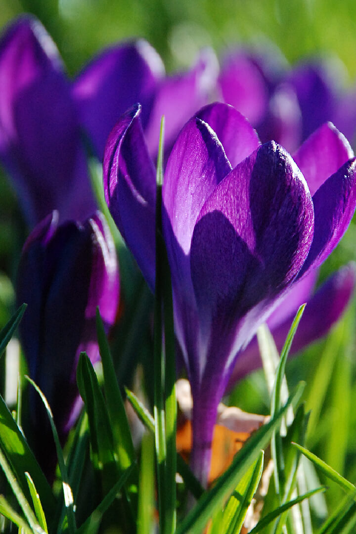 Crocus (copyright Denice stout)