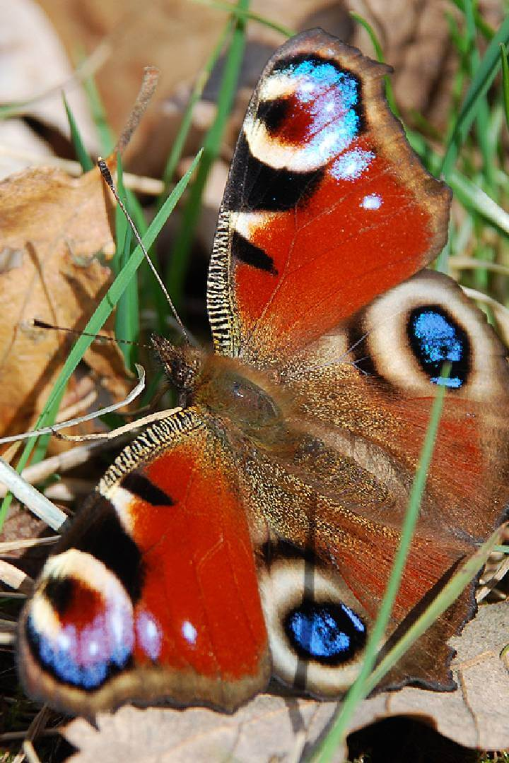 Peacock butterfly (copyright Denice Stout)