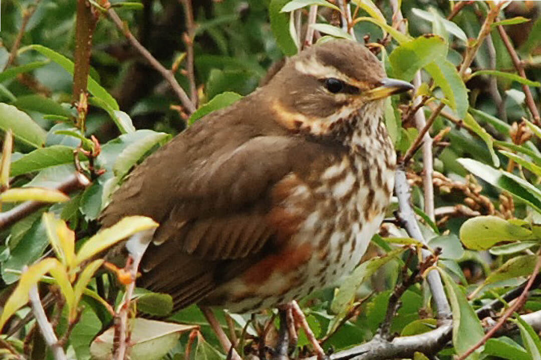 Redwing (copyright Denice Stout)